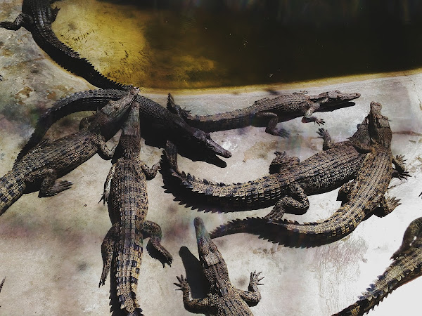 IS THIS WHERE OUR POLITICIANS HANG OUT? A DAY AT DAVAO'S CROCODILE FARM