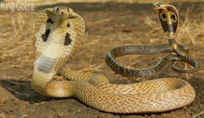 King cobra snake, শঙ্খচূড়, পদ্ম গোখরা, রাজ গোখরা
