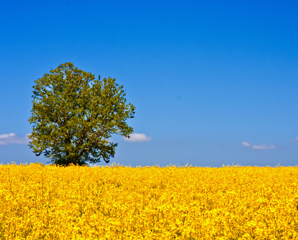 European agriculture, rapeseed field