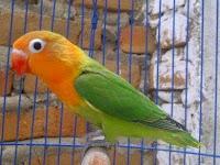 Cara Memilih Bakalan Lovebird Ombyokan Yang Berkualitas Baik