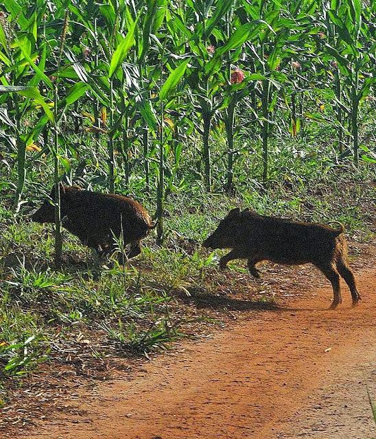 Javalis em MS: costumam atacar em bandos  as plantações de milho deixando rastro de destruição.  Foto Paulo Ribas-Correio do Estado