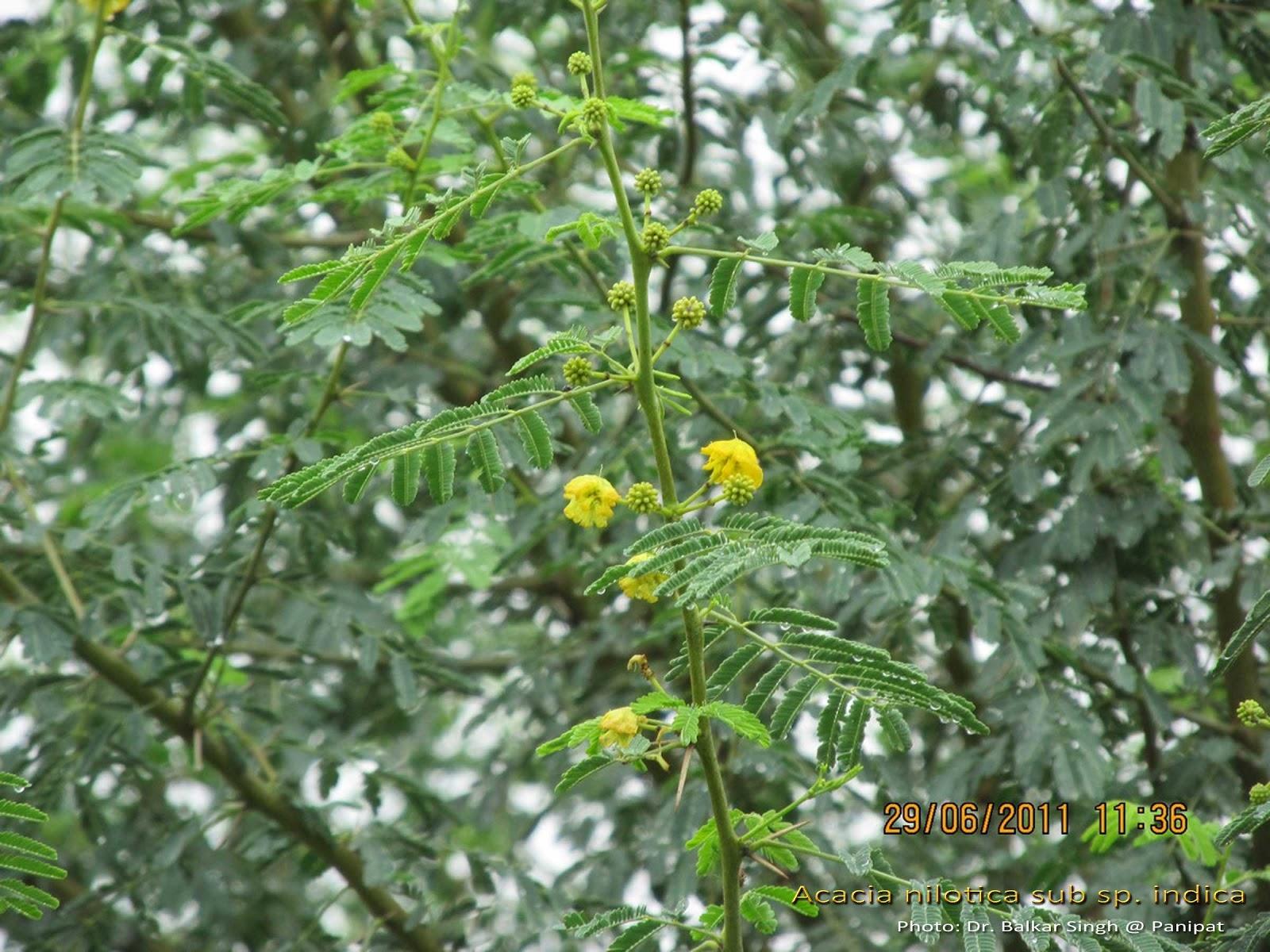 Medicinal Plants Acacia Nilotica Nalla Thumma Babool Tikshana