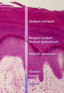 Stratum corneum layer cells in skin-function