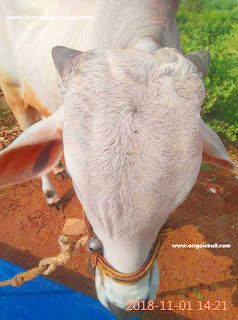 new Ongole bull images