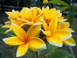asal usul bunga  kamboja  The Kamboeja