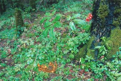 Sâm ngọc linh sinh trưởng ở vùng núi cao, dưới tán rừng rậm rạp nhiều mùn ẩm