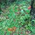 Những đặc điểm chung của sâm Ngọc Linh rừng tự nhiên