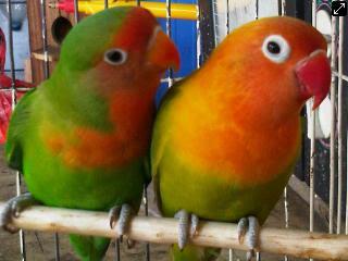 burung lovebird, lovebird