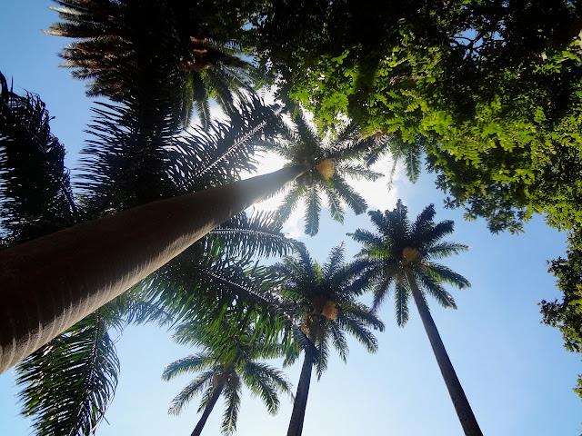 Palmeira Jerivá - Parque Jardim da Luz