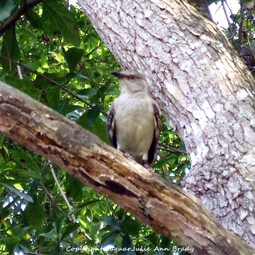 Adult Mockingbird Protective Behavior 14