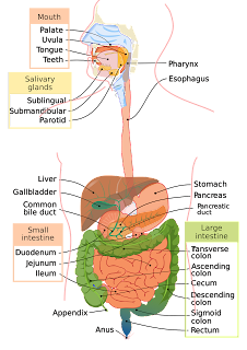 Figure 1-1. Major organs of the gastrointestinal system, as well as the lungs, trachea (windpipe), and diaphragm.