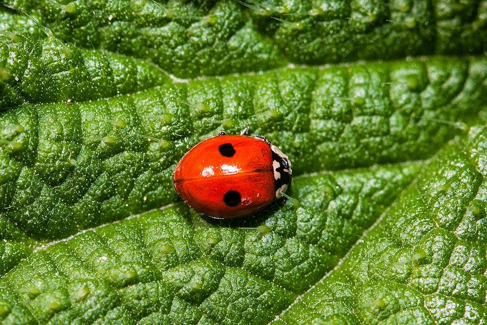 2 Spot Ladybird - Loughton Valley Park, Milton Keynes