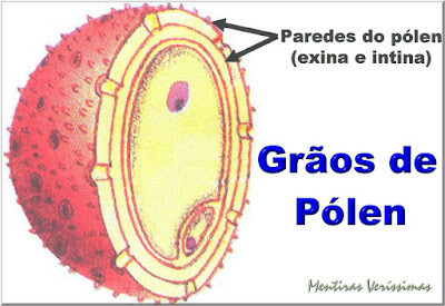 Paredes do grão de pólen - exina e intina - a exina é muito resistente