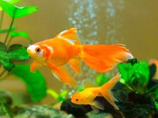 Unduh 850+ Gambar Ikan Hias Koki HD Terbaru