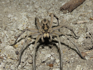 Hogna sp., wolf spider