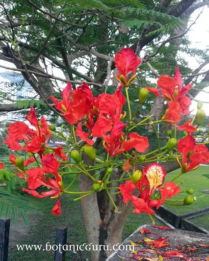 Delonix regia, Flamboyant, Royal Poinciana, Flame Tree flowers
