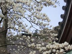鎌倉のハクモクレン