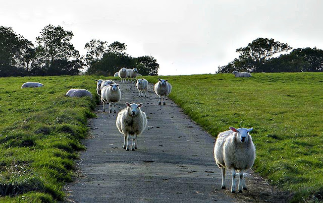 Sheep walking down a pathay in a group.