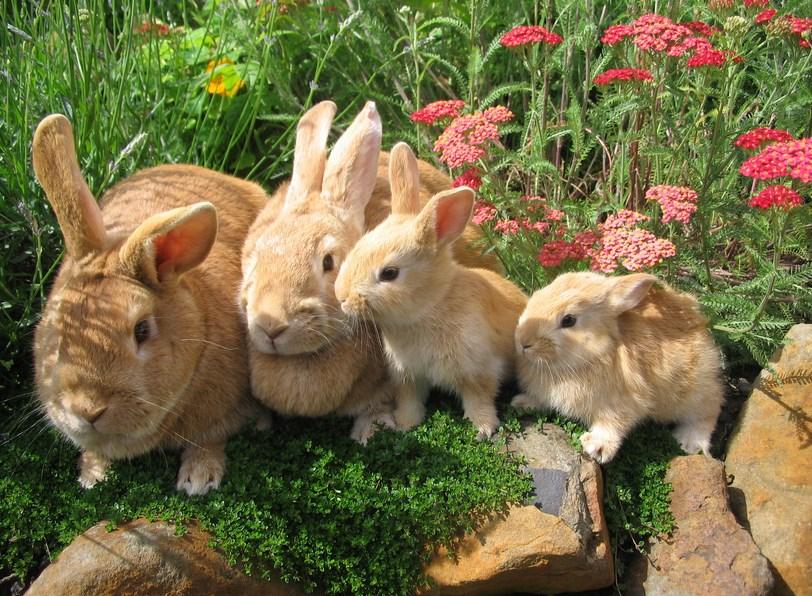 cara benar dan Panduan Lengkap Mengawinkan Kelinci dan Disertai Tips mengembangbiakkan Kelinci