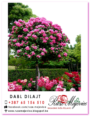Roze stablačica Dabl Dilajt