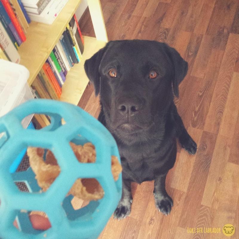 Blauer Gitterball schwarzer Labrador