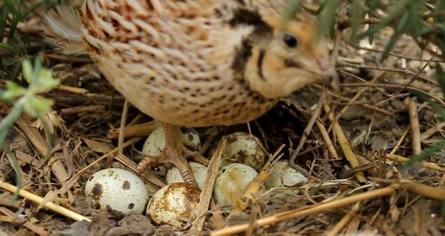 Broody Coturnix Quail  & Nest
