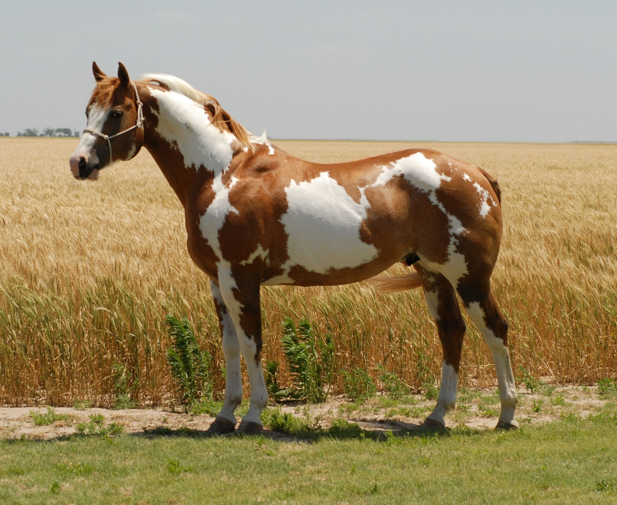Paint Horse Saddler Brown And White