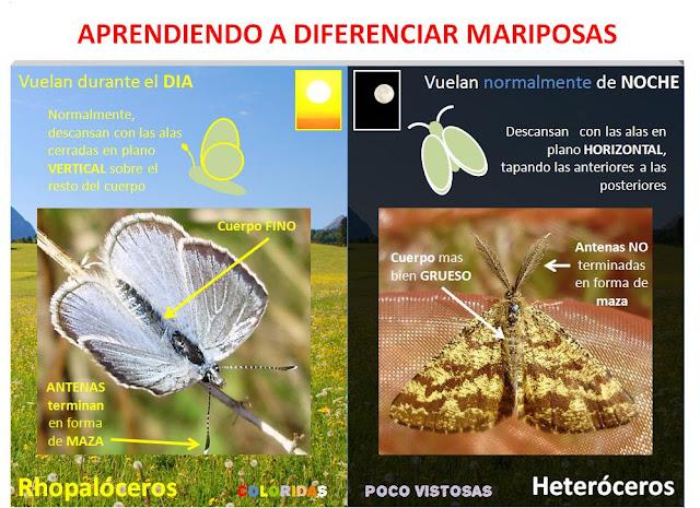 Principales diferencias entre mariposas diurnas y nocturnas