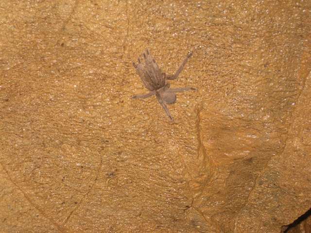 tarantula in ankarana caves