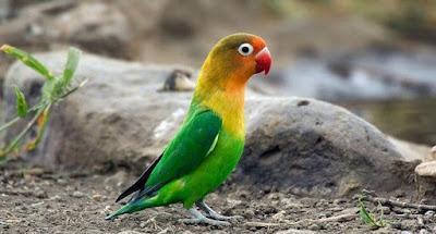 4 Proses Perawatan Burung Lovebird Paud Agar Siap Mengikuti Lomba Dan Tampil Maksimal
