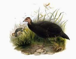 Black Guineafowl
