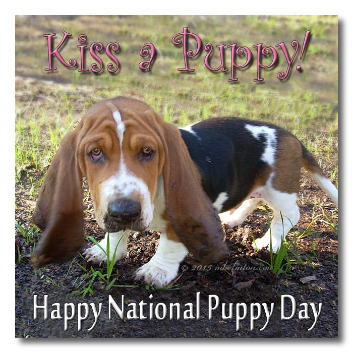 Basset Hound meme Kiss a Puppy