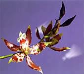 Flor de Bogota