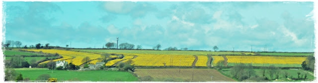 Cornwall's-daffodil-fields