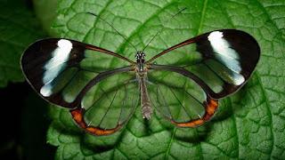 A Greta Oto é uma rara espécie de borboleta, encontrada principalmente na América Central: México, Panamá, Venezuela.  Sua envergadura é de 5,6 a 6.1 cm e ambos os sexos sendo idênticos. E apresenta uma série de comportamentos interessantes, tais como as migrações de longas distâncias e competições para reprodução entre os machos, que lutam para acasalar com uma determinada fêmea .