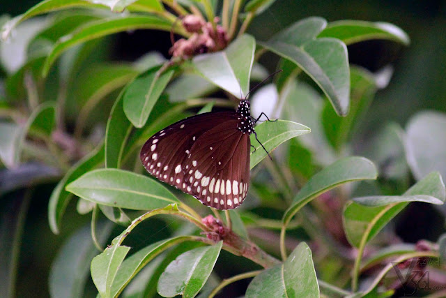 Euploea core or the common Indian crow butterfly