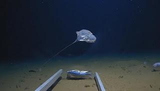 العلماء يعثرون علي اغرب قنديل البحر فى أعماق المحيط الهادي