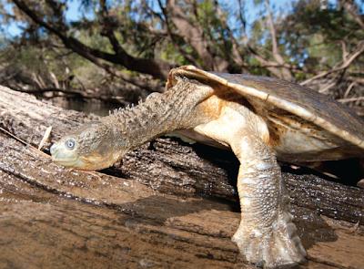 Bentuk fisik Fitzroy River Turtle