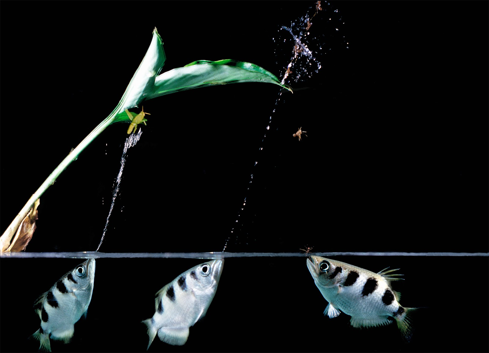 archerfish in group