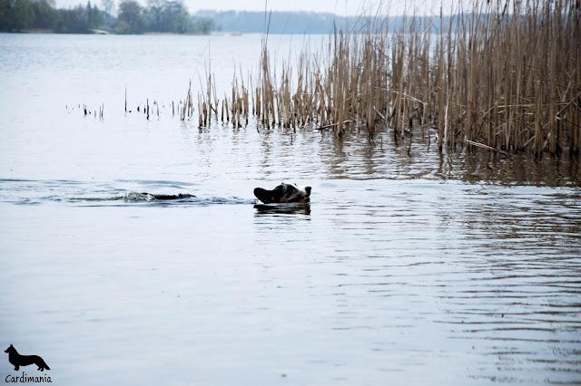 jezioro białe, jezioro, pies pływa, pies w kąpieli, z psem nad jeziorem, podróże z psem, z psem nad jeziorem