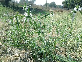 Ayurvedic uses of Leucas cephalotes (Dronapushpi)
