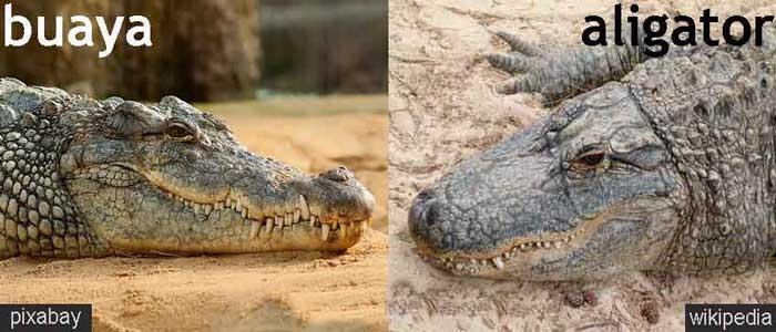 Perbedaan Aligator Dengan Buaya