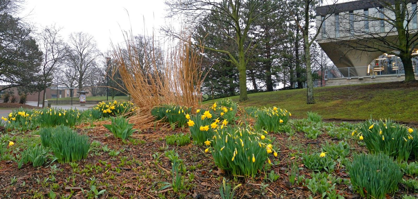 Daffodils near the Dana Porter Library at the University of Waterloo. Credit: George Freeman