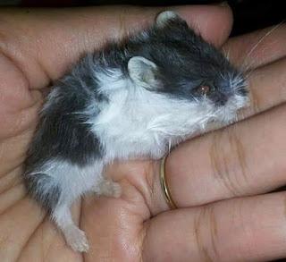 hamster sakit