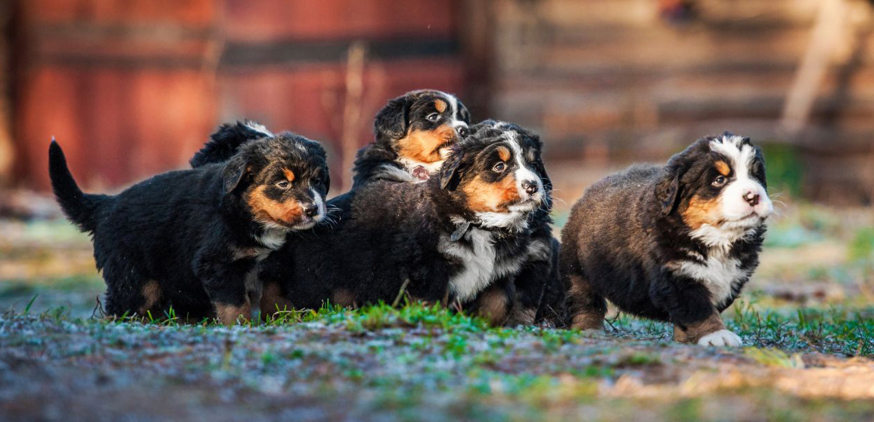 Litter of Bernese Mountain Dog puppies running in the grass