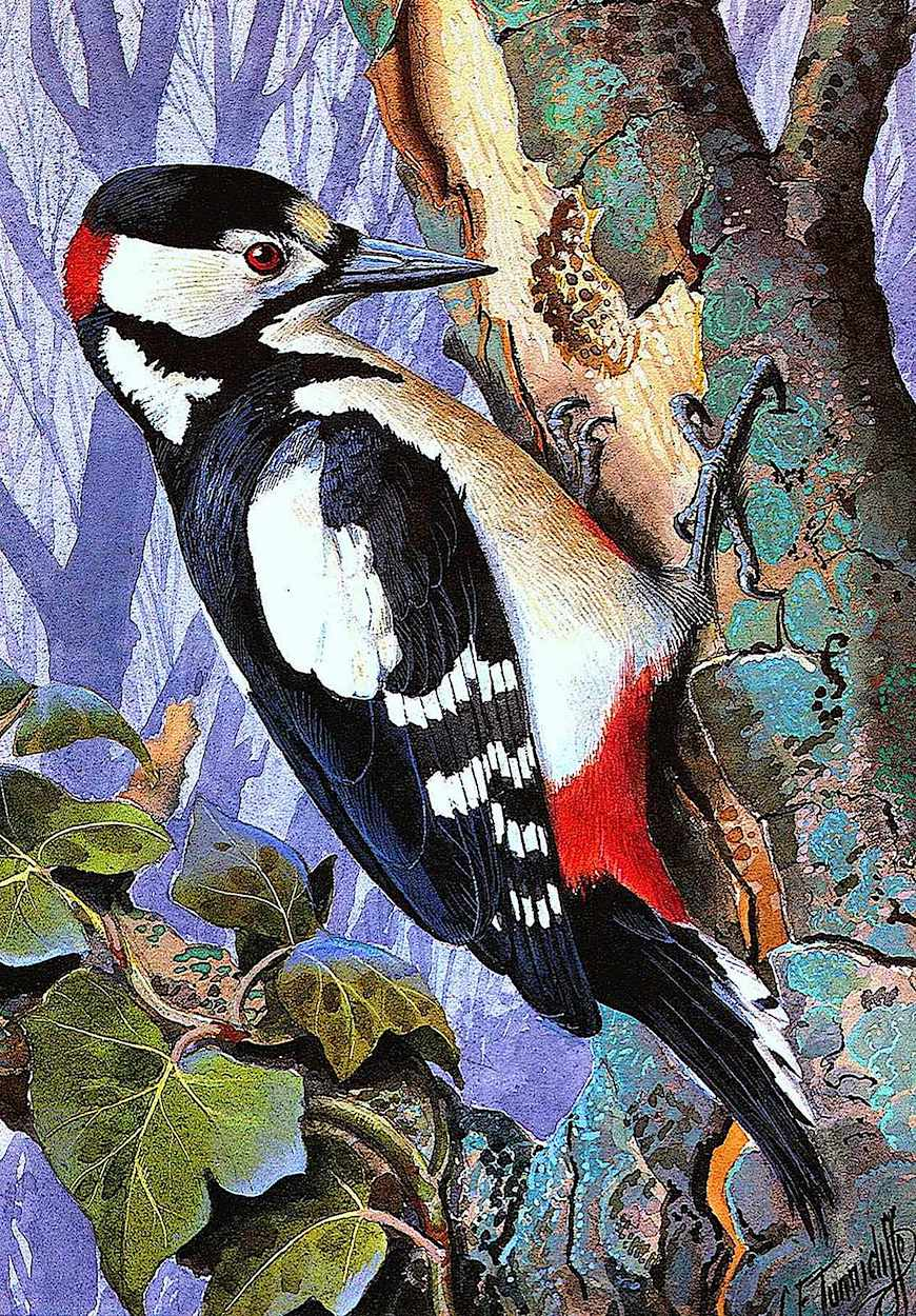 a Charles F. Tunnicliffe illustration of a woodpecker