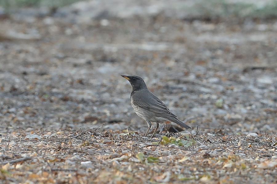 Black-throated Thrush