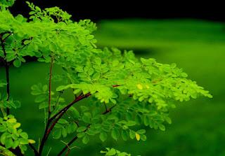 شجرة المورينجا