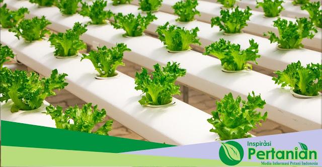 Kelebihan Tanaman Hidroponik Untuk Menanam Sayuran