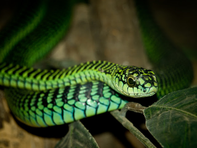 My personal fave snake is the Boomslang, a members of the family Colubridae whose members are generally harmless to humans. Yet, the Boomslang has a highly potent hemotoxin slow acting venom, taking hours before any effects are noticed. This can leave victims unaware of their life-threatening condition. If not treated promptly, treatment with anti-venom and a full blood transfusion is required to replace the blood that is now permanently unable to clot. #animals #snakes #venemous